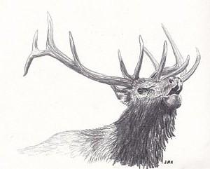 bull-elk-nicole-grattan